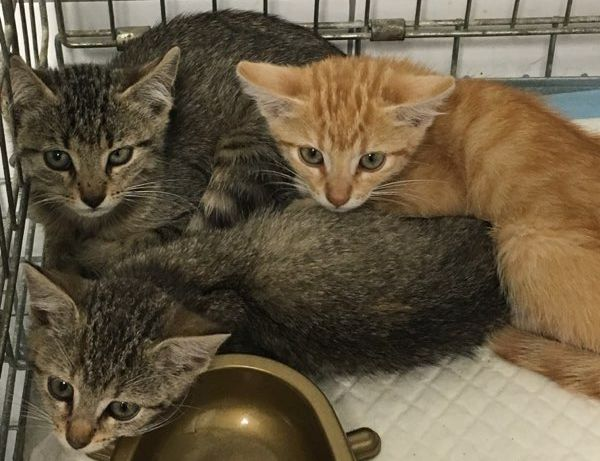 Ilustracja do informacji: Szukamy domu dla trzech małych kotów!