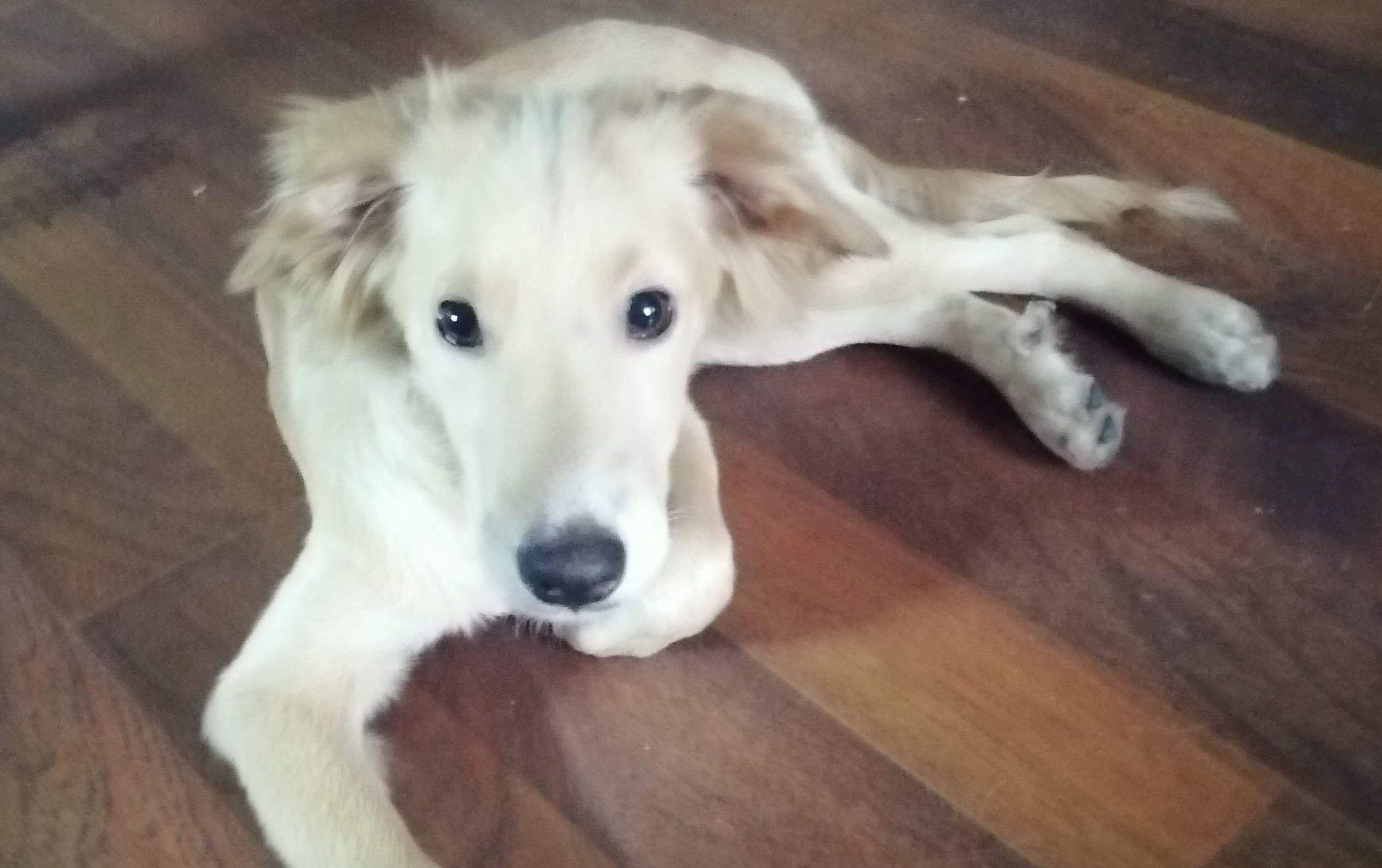Ilustracja do informacji: Szukamy domu dla pięciomiesięcznego psa